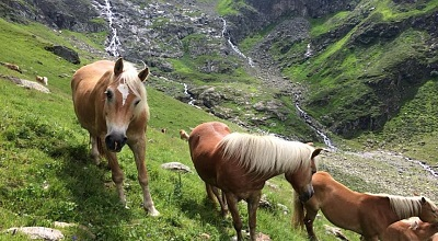 Haflinger herds on tyrolean mountain pastures 2017