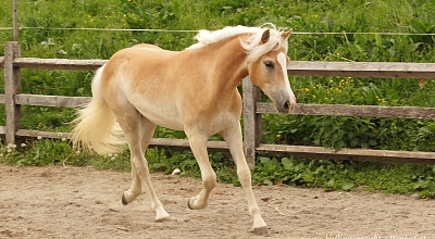 Tyrolean Haflinger Horses for sale
