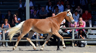 Haflinger Young Mare Show